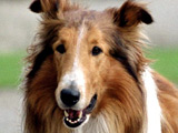 Lassie crowned top TV dog in poll