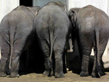 Politician furious over 'gay' elephant