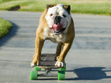 Skateboarding bulldog is internet hit