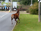 Deer halts traffic in Milton Keynes