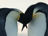 Gay penguins caught stealing eggs
