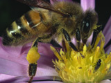 Scientists test cocaine on bees