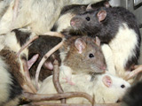 Bangladesh man crowned rat-killing champ