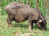 Pot Bellied Pig Stock Images, Royalty