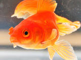 Goldfish 'survives seven hours out of bowl'