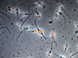 Celebrity lookalike sperm bank to open