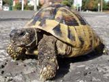 American tortoise crosses M25