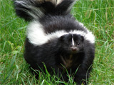 Obese skunk 'put on vegetarian diet'