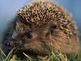 Drunk hedgehog rescued in Devon