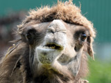 Feral camels 'attack Australian town'