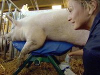 'Farm' under fire over pig masturbation